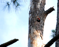 Baby Pileated Woodpecker